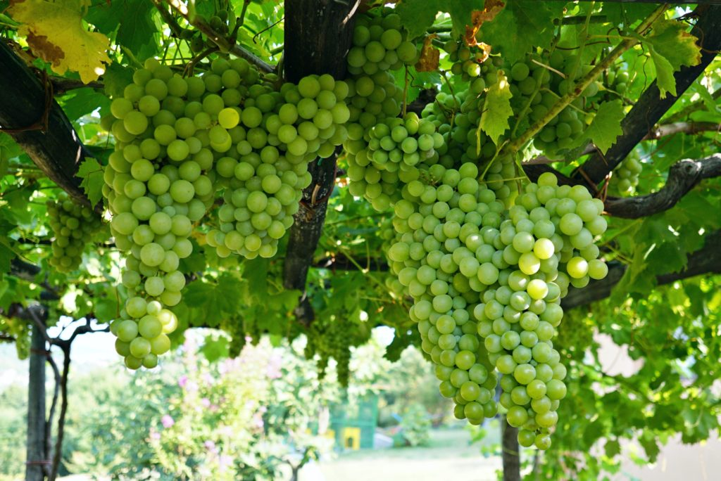 Grapes at Prodan Tartufi