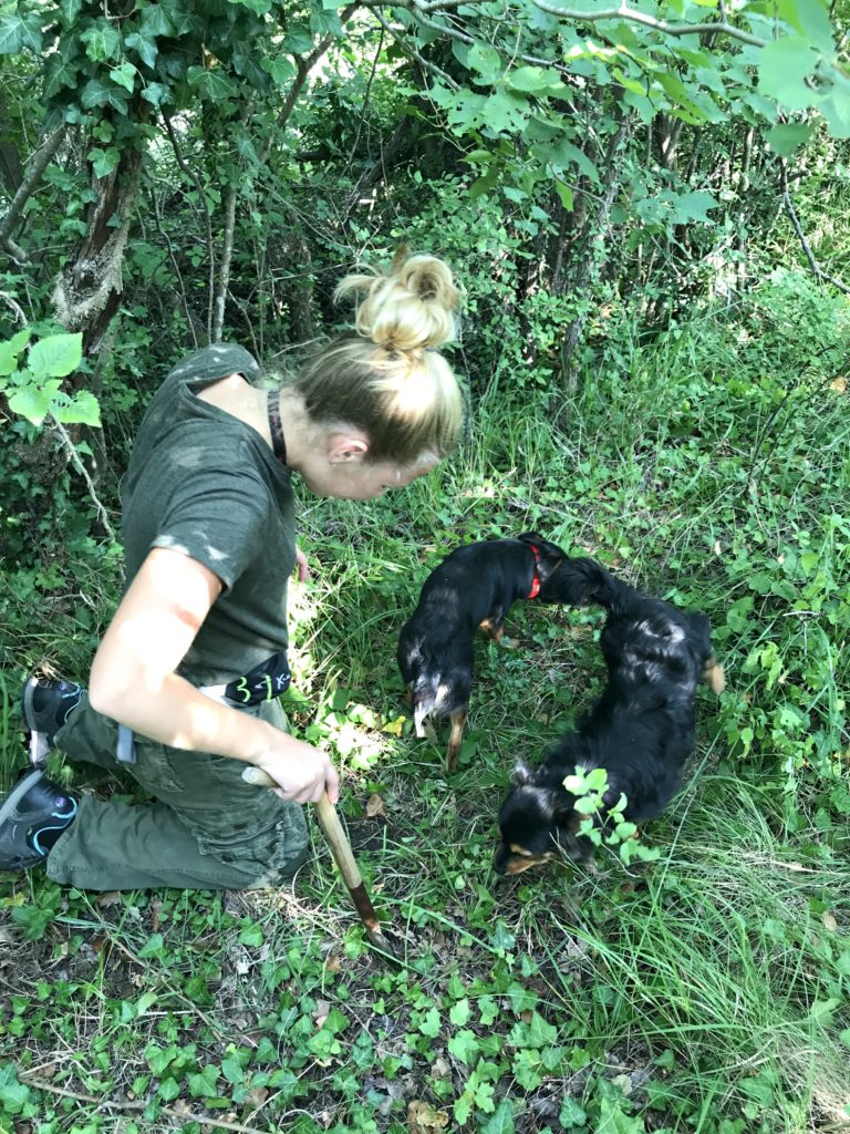 Dogs finding truffles at Prodan Tartufi